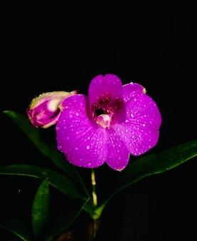 Rosa phalaenopsis lilla live orchid flower closeup isolato su uno sfondo nero