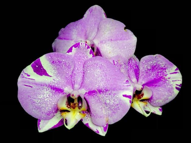 Rosa phalaenopsis o moth dendrobium orchid fiore in inverno o in primavera giardino tropicale