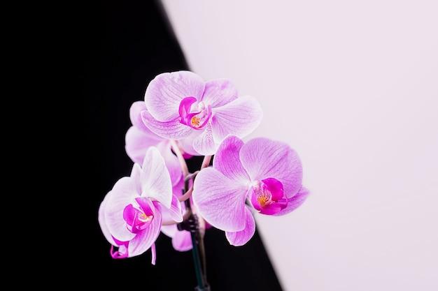 Rosa fiori di orchidea phalaenopsis su uno sfondo bianco e nero, copia dello spazio