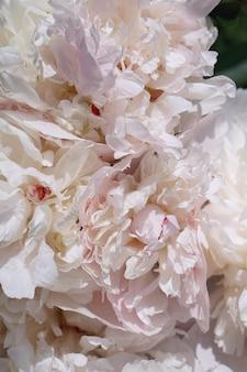 Brunch di fioritura dei fiori del pione rosa in giardino