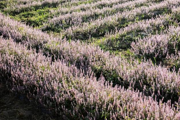 Fiori di mesona viola rosa presso l'azienda agricola, taiwan