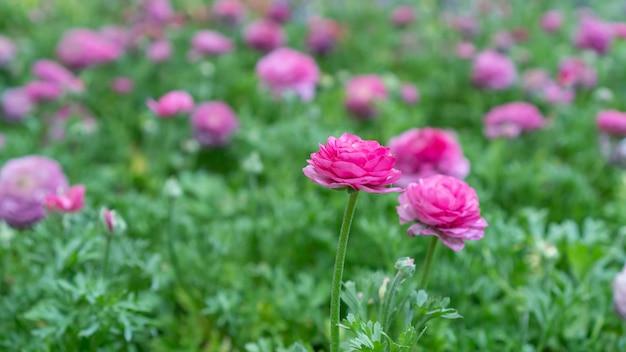 Fiore rosa del ranunculus in un giardino