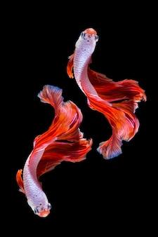 Pesce rosa e rosso di betta, pesce siamese di combattimento su fondo nero