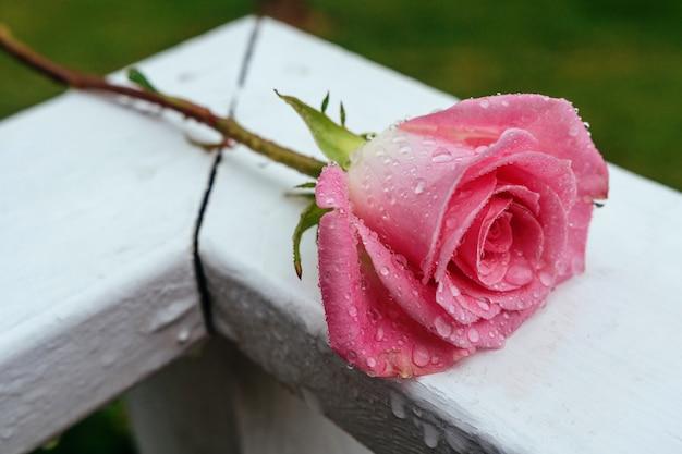 Rosa rosa che fiorisce in giardino