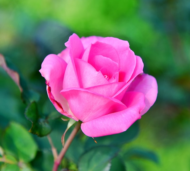 Fiore di rosa rosa su sfocatura dello sfondo della natura