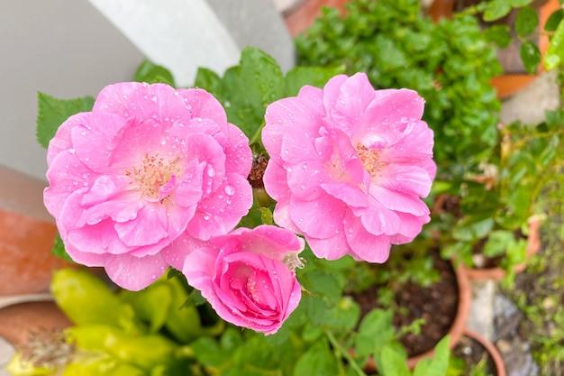 Rosa rosa nel giardino verde. per san valentino.