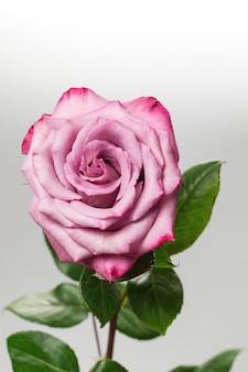 Rosa rosa isolata sulla parete bianca.
