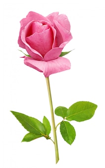 Rosa rosa isolata su bianco