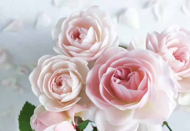 Rose rosa e petali isolati su sfondo bianco perfetti per biglietti di auguri di sfondo e