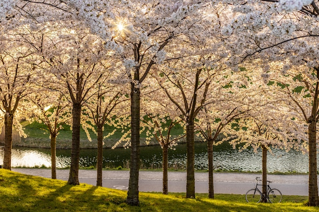 Fiore rosa di sakura, albero del fiore di ciliegia in parco.