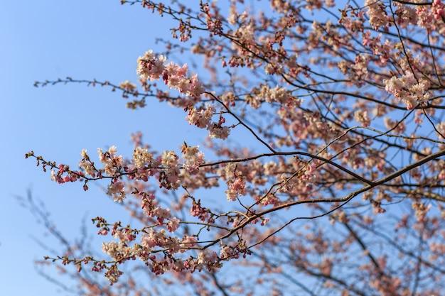 Fiori rosa di sakura che fioriscono contro il cielo blu