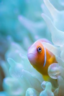 Pesce pagliaccio puzzola rosa in bolla anemone di un verde fluorescente