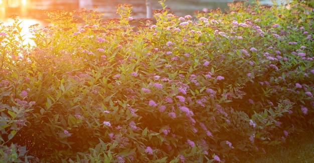 Spirea rosa in giardino