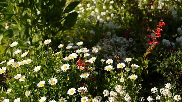 Fiore rosa tenero della margherita, delicata margherita. primo piano botanico naturale sullo sfondo. fioritura di fiori selvaggi nel giardino o prato del mattino di primavera, giardinaggio domestico in california, stati uniti d'america. flora primaverile.