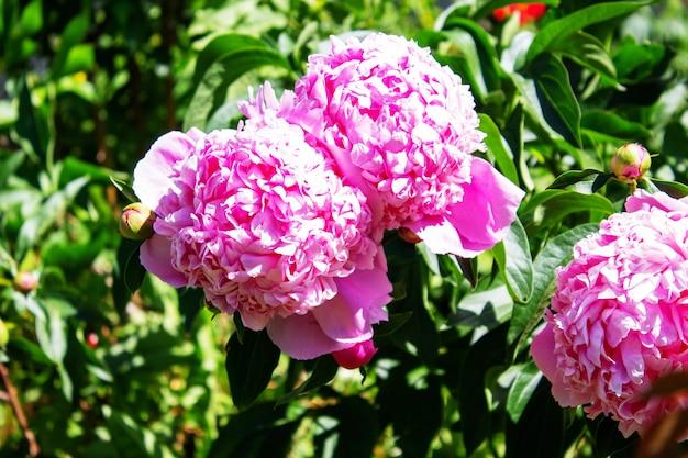 Peonie di spugna rosa che fioriscono sul giardino del cespuglio