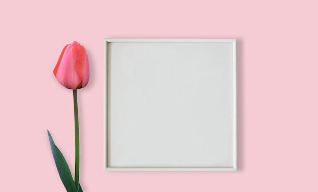 Fiore rosa del tulipano con la cornice bianca su superficie rosa