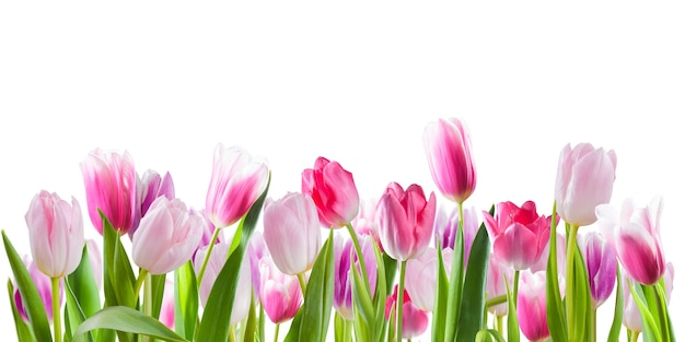 Fiori di tulipano rosa isolati su superficie bianca. superficie a molla per il tuo design creativo