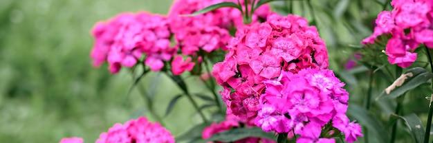Fiore di cespuglio di garofano turco rosa in piena fioritura su uno sfondo di foglie verdi ed erba sfocate