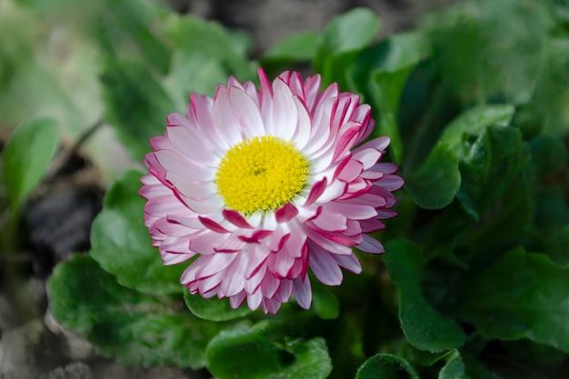 Fiore margherita rosa e bianco su uno sfondo di cespuglio verde
