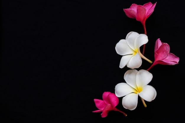 Frangipani rosa fiori bianchi su sfondo nero