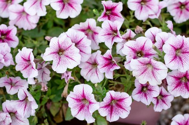 Petunia rosa e bianca all'aperto, sfondo floreale, motivo floreale, decorazione del letto da giardino.