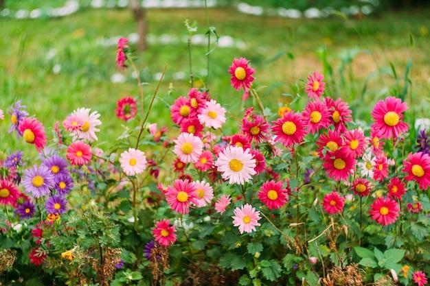 Primo piano rosa, bianco e viola dei crisantemi nell'erba verde.