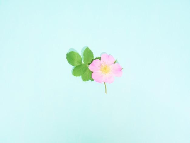 Rosa selvatica rosa su sfondo blu. vista dall'alto, laici piatta.