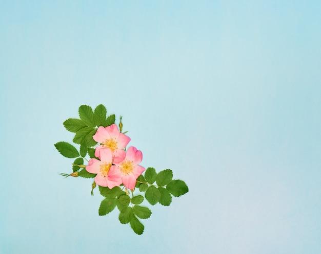 Rose selvatiche rosa su sfondo blu. vista dall'alto, distesi, copia spazio.