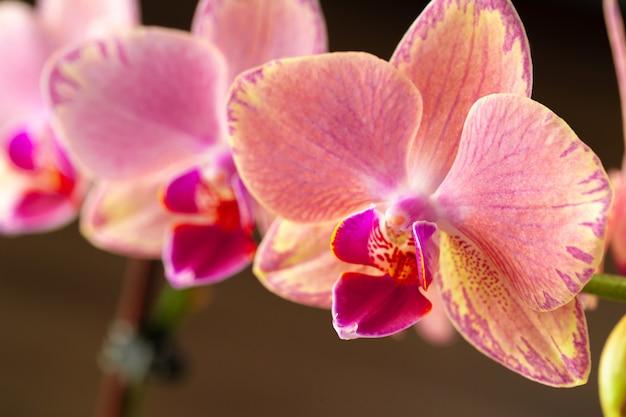 Fine pastello rosa e gialla dell'orchidea su