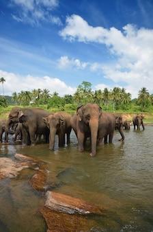 Orfanotrofio degli elefanti di pinnawala, sri lanka