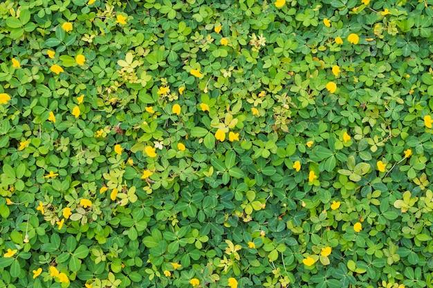 Pinto peanut o arachis pintoi con foglie verdi e fiore giallo nella vista superiore del campo giardino