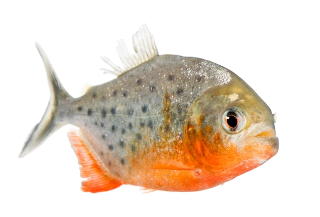 Piranha, serrasalmus nattereri, su bianco isolato