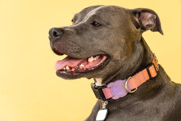 Cane pitbull nel cortile di casa. naso blu pitbull con occhi color miele. casa con muro giallo e giardino.