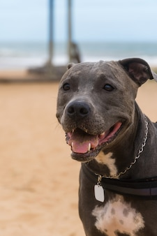 Cane pit bull che gioca sulla spiaggia, godendosi il mare e la sabbia. giorno soleggiato. messa a fuoco selettiva.