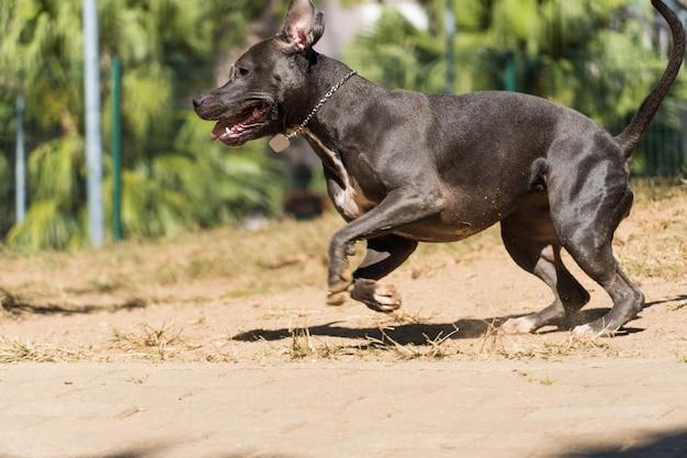 Cane del pitbull che gioca nel parco il pitbull approfitta della giornata di sole per divertirsi.