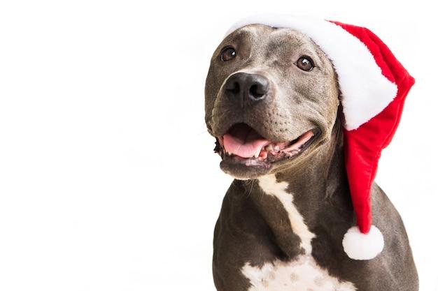 Pit bull cane in rosso santas cap isolato su sfondo bianco per il natale in attesa di babbo natale
