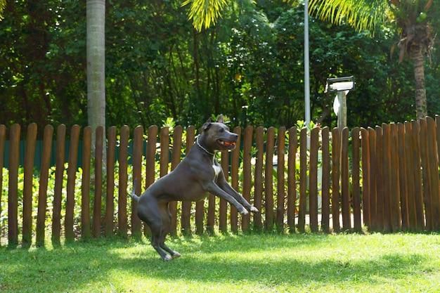 Cane pitbull che salta per prendere la palla nel parco. pitbull che si esercita durante il gioco.