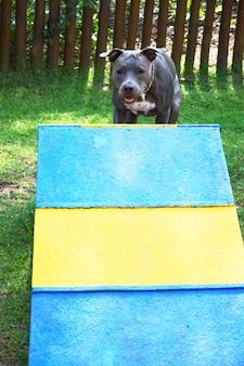 Cane pitbull salendo la rampa di legno. pitbull che fa esercizio di agilità nel parco.