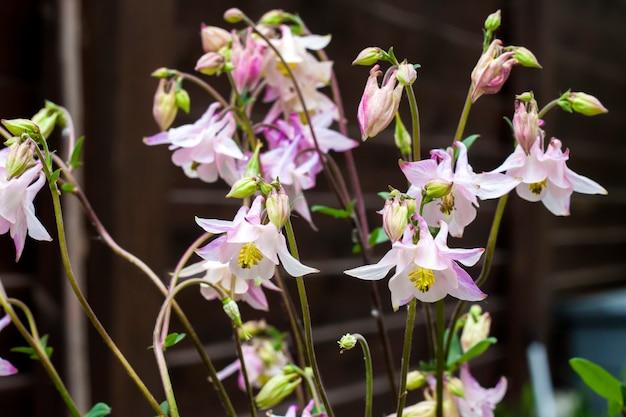 Plae rosa fiori di aquilegia closeup nel giardino di primavera.