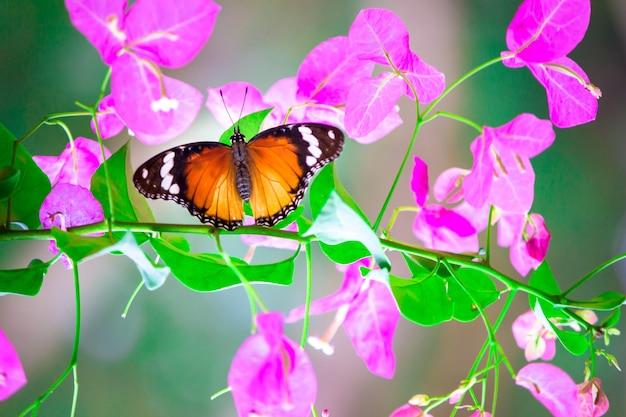 Plain tiger danaus chrysippus farfalla in appoggio sui fiori di bouganville plan
