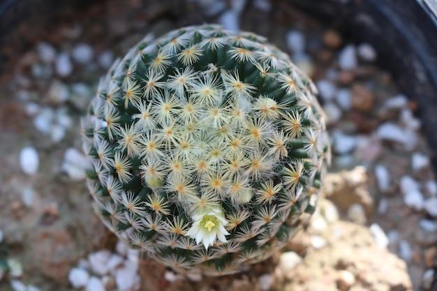 Cactus della pianta con il fondo di fioritura del fiore minuscolo