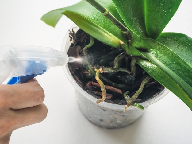 Cura delle piante orchidee trattamento delle piante contro malattie e parassiti