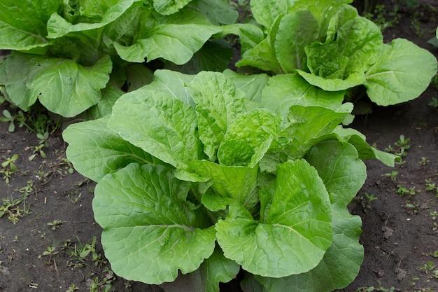 Una pianta di cavolo alla pechinese pak choi o bok choi in giardino