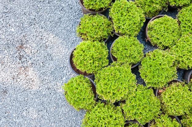 Pianta il pino in vaso, vista dall'alto delle piantine di arborvitae verde