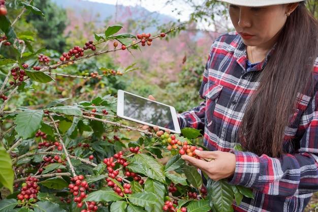 I ricercatori delle piante utilizzano un laptop per visualizzare le statistiche di crescita del caffè arabica nel distretto di mae wang, provincia di chiang mai, thailandia.