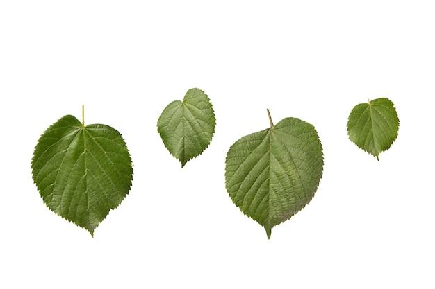 Insieme della pianta dalle foglie strutturate organiche fresche dell'albero di tilia su un tavolo bianco.