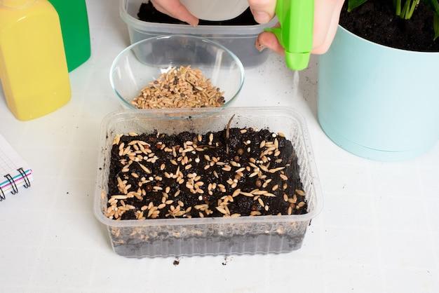 Pianta e semina semi in fioriere per la germinazione a casa. processo graduale di piantare semi, annaffiare la terra con il loro poliestere.