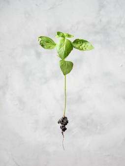 Germoglio di piante con radici. prodotto biologico ecologico, coltivazione di piante.