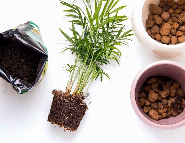 Concetto di trapianto di piante. palma domestica su priorità bassa bianca accanto all'attrezzatura di trapianto