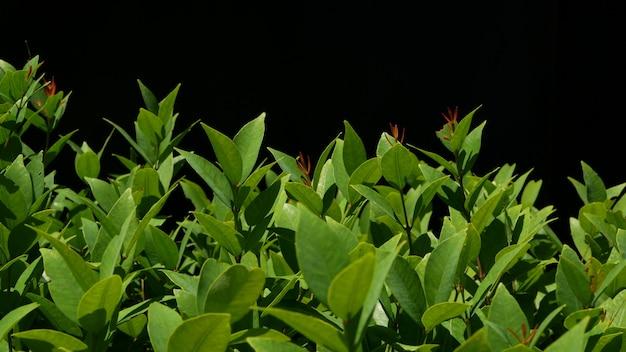 Pianta con foglie verdi che crescono sulla piantagione su sfondo nero.